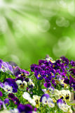 Field of colorful pansies with green background. Field of colorful pansies flowers blooming in spring garden  and green bokeh background with sun rays Stock Image