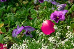 A field of colorful pansy flowers in a botanic garden. royalty free stock photography