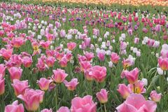 Field of colorful pink and white tulips Royalty Free Stock Image
