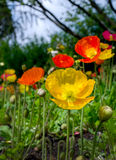 Field of colorful poppies Royalty Free Stock Photography