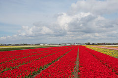 Field of colorful red tulips in the Netherlands Royalty Free Stock Photo