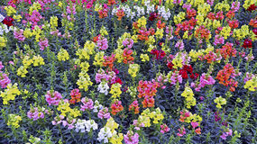Field of colorful snapdragon flowers Royalty Free Stock Photo