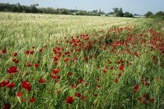 Field of colorful spring poppies on Peloponnese in Greece. Image of field of colorful spring poppies on Peloponnese in Greece stock photo