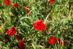 Field of colorful spring poppies on Peloponnese in Greece. Image of field of colorful spring poppies on Peloponnese in Greece stock image
