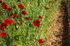 Field of colorful spring poppies on Peloponnese in Greece. Image of field of colorful spring poppies on Peloponnese in Greece stock photography