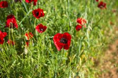 Field of colorful spring poppies on Peloponnese in Greece. Image of field of colorful spring poppies on Peloponnese in Greece royalty free stock image