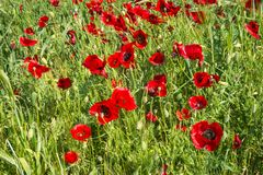 Field of colorful spring poppies on Peloponnese in Greece. Image of field of colorful spring poppies on Peloponnese in Greece royalty free stock photography