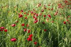 Field of colorful spring poppies on Peloponnese in Greece. Image of field of colorful spring poppies on Peloponnese in Greece stock photos