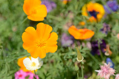 Field of colorful Summer flowers Royalty Free Stock Photo