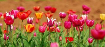 Field of colorful tulips. Field of red, pink and yellow tulips Royalty Free Stock Photo