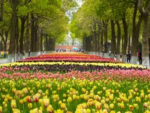 A field of colorful tulips blooming between camphor trees in early spring Royalty Free Stock Photos