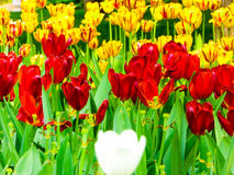 A field of colorful tulips blooming Royalty Free Stock Photography