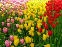 A field of colorful tulips blooming Stock Image