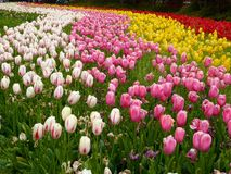A field of colorful tulips blooming Stock Images