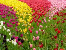 A field of colorful tulips blooming Royalty Free Stock Image