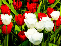 A field of colorful tulips blooming Royalty Free Stock Images