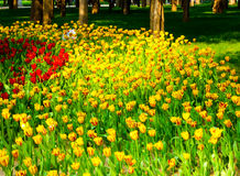 A field of colorful tulips blooming Royalty Free Stock Photo