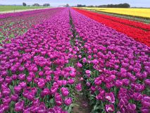 Field of colorful tulips. Farm field with colorful blooming tulips on sunny day Royalty Free Stock Photos