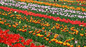 Field of colorful tulips royalty free stock image