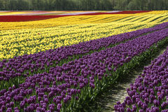 Field Of Colorful Tulips Flowers Stock Photography