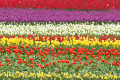 Field of Colorful Tulips Flowers Royalty Free Stock Photos