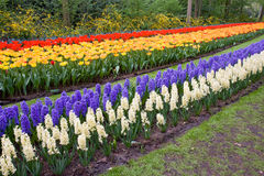 Field of colorful tulips and hyacinths Royalty Free Stock Image