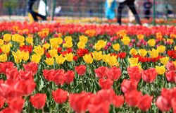 Field of colorful tulips, yellow and red stock photography