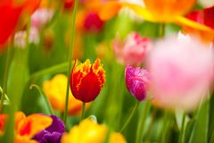 Field of colorful tulips: rich yellow fidelio tulips, beautiful Stock Images