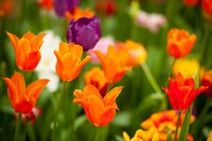 Field of colorful tulips: rich yellow fidelio tulips, beautiful Royalty Free Stock Photography