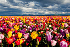 Field of colorful tulips in Spring. Under dramatic sky Royalty Free Stock Photo
