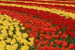 Field of colorful tulips. Stripes of red, orange and yellow flowers Royalty Free Stock Photos