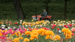 Field of colorful Tulips with Tractor. Overcast day. stock footage