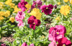 Field of colorful viola flower,close up Stock Photo