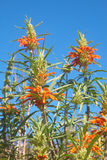 Field of colorful wild Leonotis flowers Royalty Free Stock Images