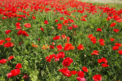 Field coloured in red from poppies. Selective focus on the foreground, background softens Royalty Free Stock Image