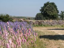 Field of colourful delphinium flowers in Wick, Pershore, Worcestershire, UK, with bales of hay in the background. stock image