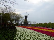 A field of colourful tulips blooming. A field of colorful tulips blooming with windmill background in early spring at Shanghai flower port China on a sunny day royalty free stock images