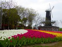 A field of colourful tulips blooming. A field of colorful tulips blooming with windmill background in early spring at Shanghai flower port China on a sunny day stock photo