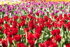 Field of colourful tulips on display in Hong Kong. Glorious fields of tulips on display in Hong Kong one spring afternoon in 2018. Beautiful colors of red Stock Photography
