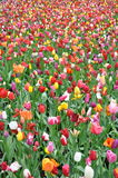 Field of colourful tulips in Holland royalty free stock photos