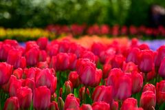 Field of colourful tulips in Holland , spring time flowers in Keukenhof. Field of colourful tulips in Holland , spring time flowers royalty free stock photography