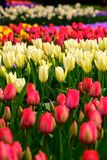 Field of colourful tulips in Holland , spring time flowers in Keukenhof. Field of colourful tulips in Holland , spring time flowers royalty free stock images