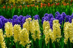 Field of colourful tulips and hyacinth in Holland , spring time flowers in Keukenhof. Field of colourful tulips in Holland , spring time flowers royalty free stock photos