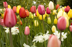 Field of colourfull flowers Royalty Free Stock Images