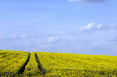 Field of colza Royalty Free Stock Photo