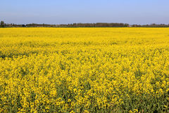 Field of colza Royalty Free Stock Photos