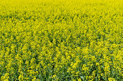 Field of colza flowers Stock Photo