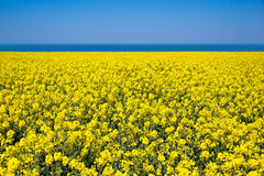 Field of colza rapeseed flowers, sea and blue sky Stock Photography