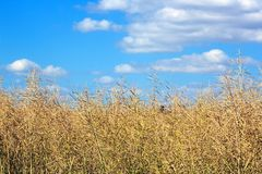 Field of colza on summer blue sky Royalty Free Stock Images