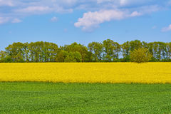 Field of Colza and Wheat Royalty Free Stock Images